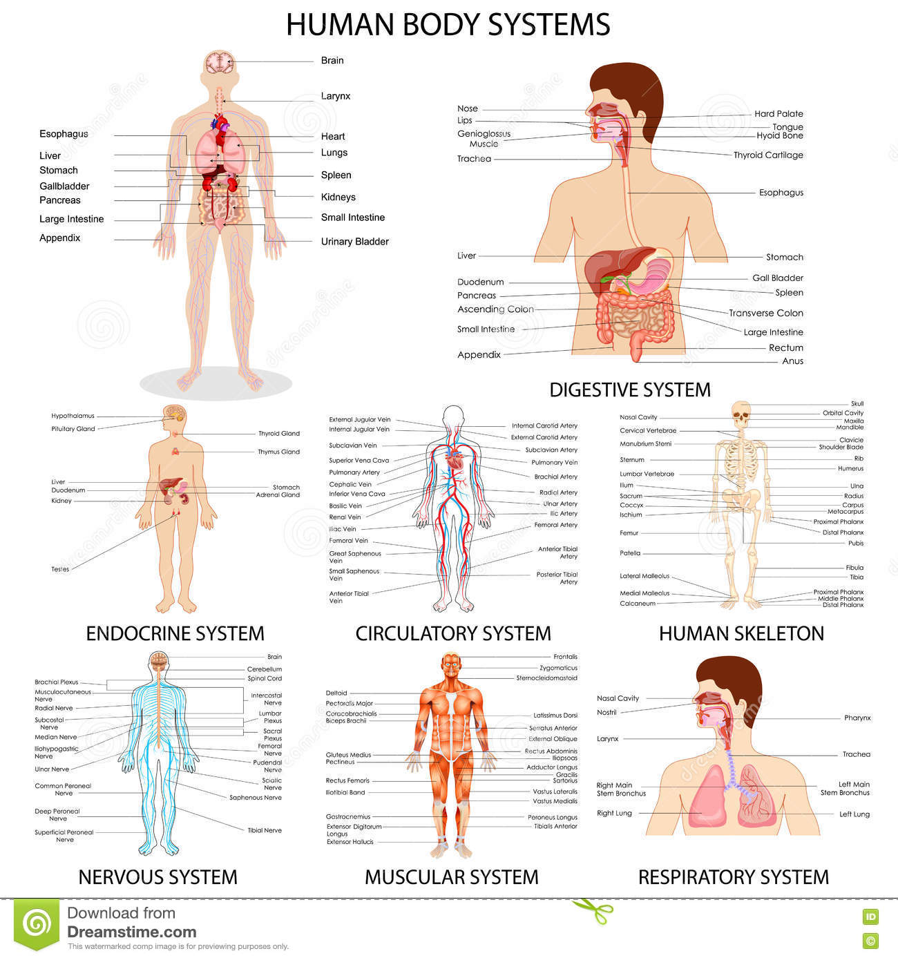 human body organ systems and their functions pdf