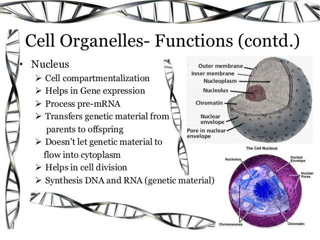 nucleus structure and function pdf